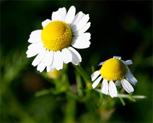 Аллергический ринит на ромашку может развиться только в том случае, если старательно сильно ромашку нюхать.