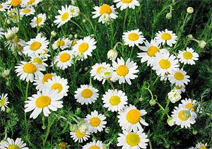 Как и аптечная ромашка, римская применяется в народной медицине в качестве противовоспалительного, антимикробного и успокаивающего средства.